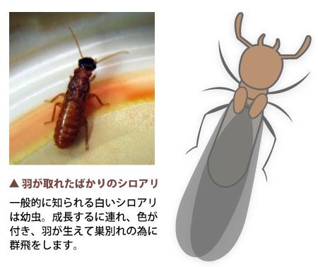 シロアリの画像 p1_17